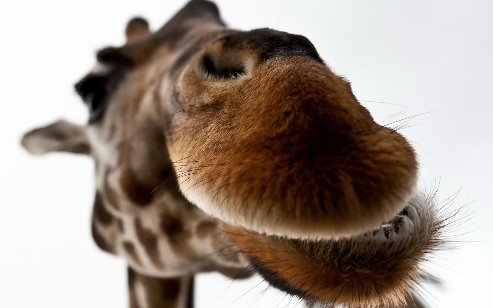 cute giraffe wallpapers