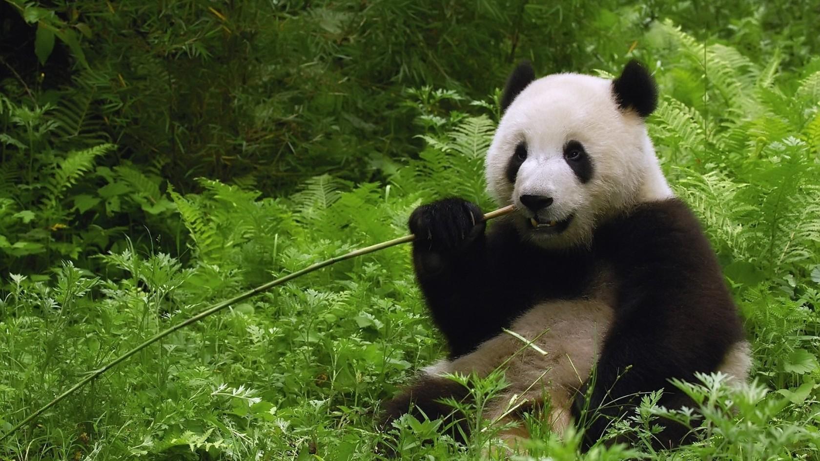 cute panda wallpapers A2