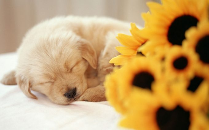 cute puppy wallpapers A10