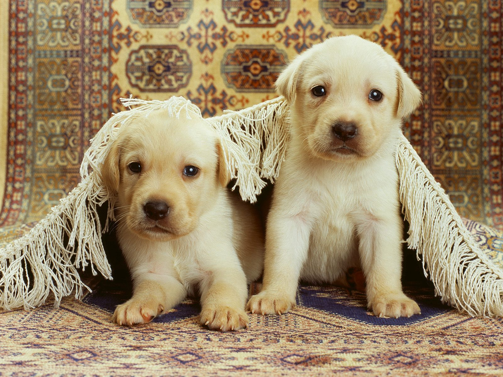 cute puppy wallpapers A9