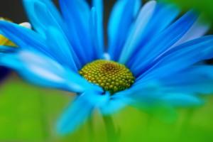 daisy blue wallpaper