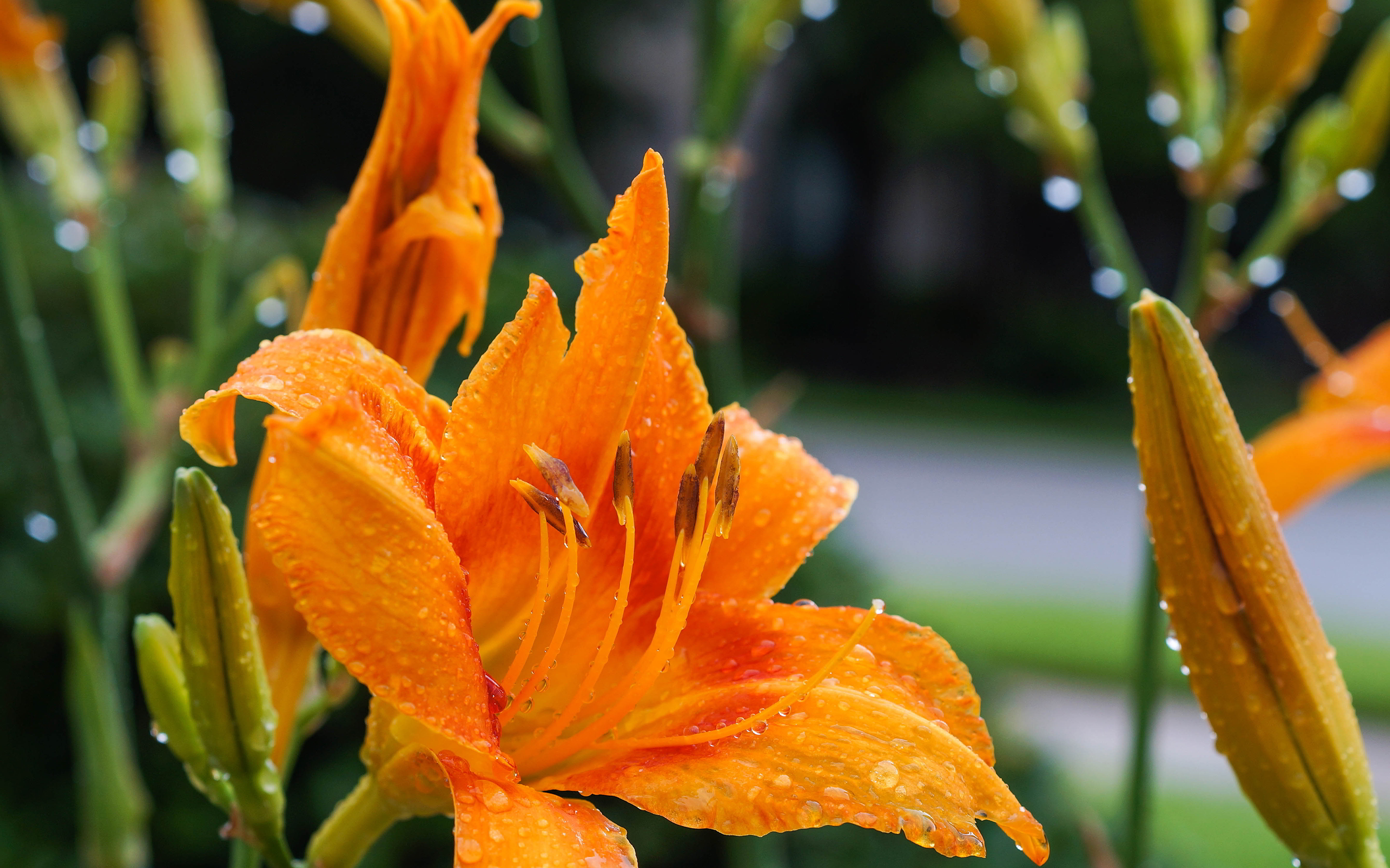 daylily dew drops flower