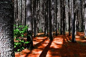 deep forest wallpaper A2