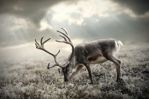 deer pictures for background