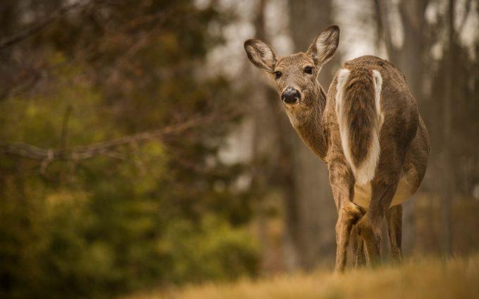 deer wallpapers for cell phones