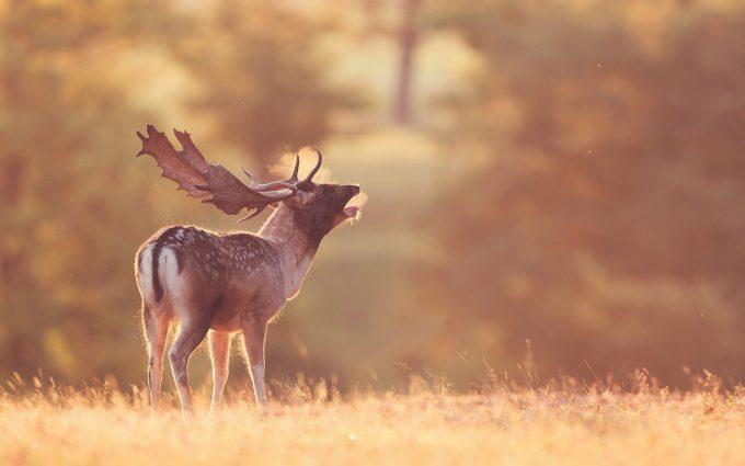 deer walpaper