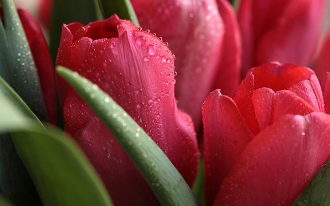 dew drops roses