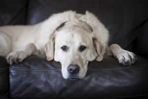 dog white wallpaper
