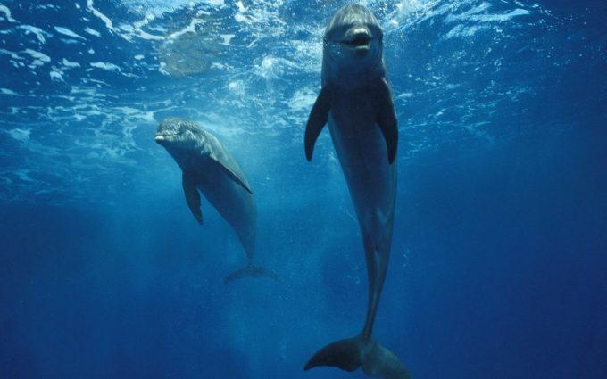 dolphin wallpaper for desktop