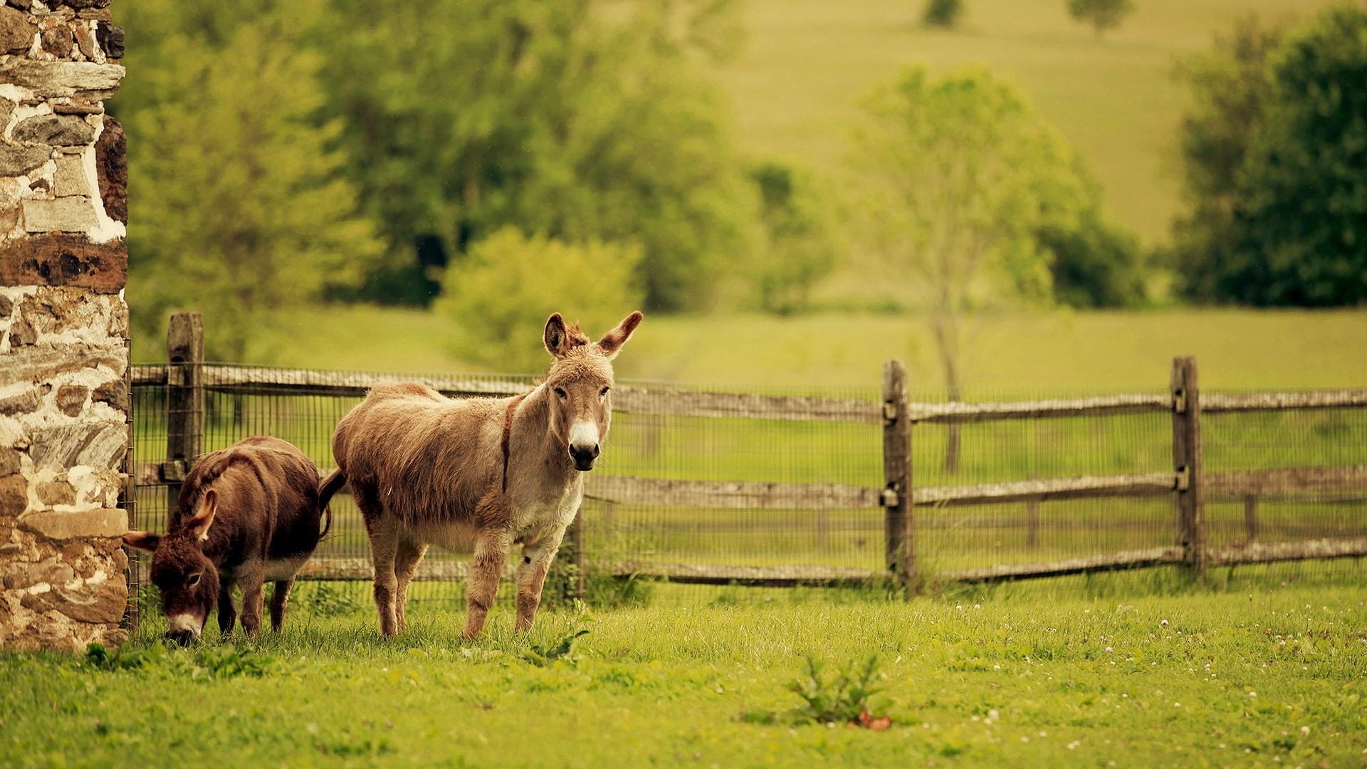 donkeys wallpaper