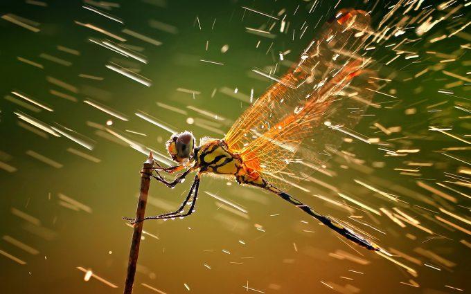 dragonfly wallpapers - HD Desktop Wallpapers   4k HD