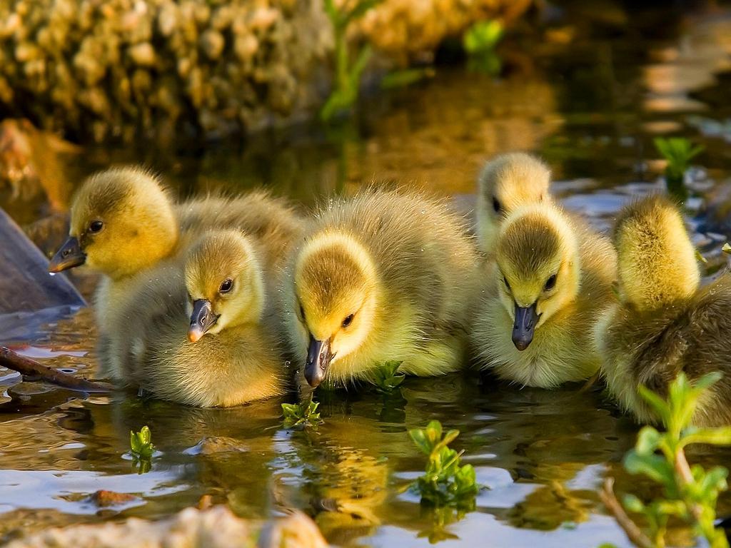 [Image: duck-1080p.jpg]