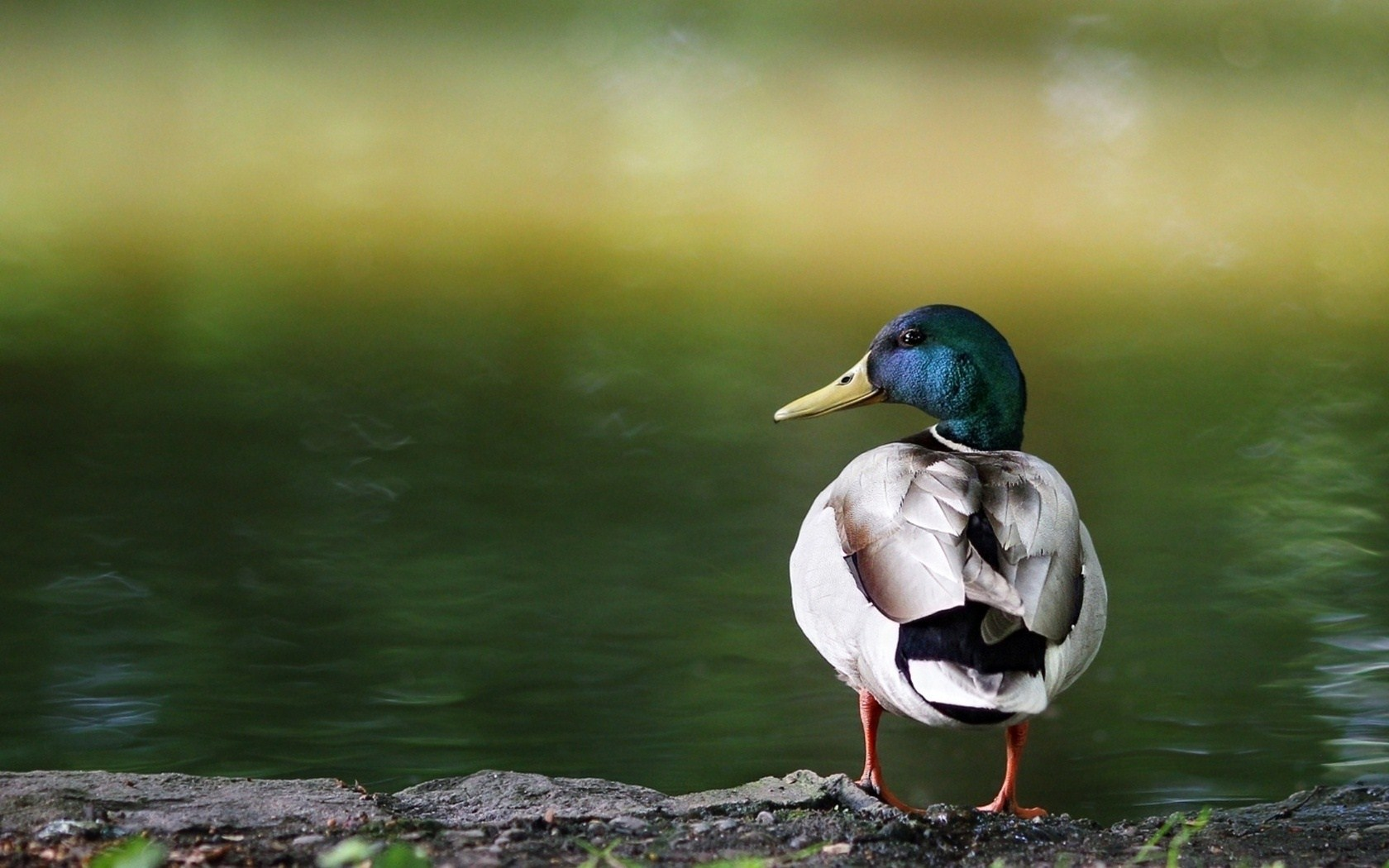 duck images A1