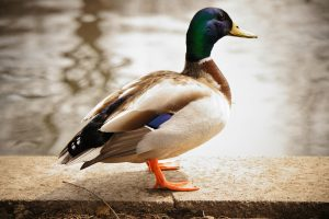duck images A5