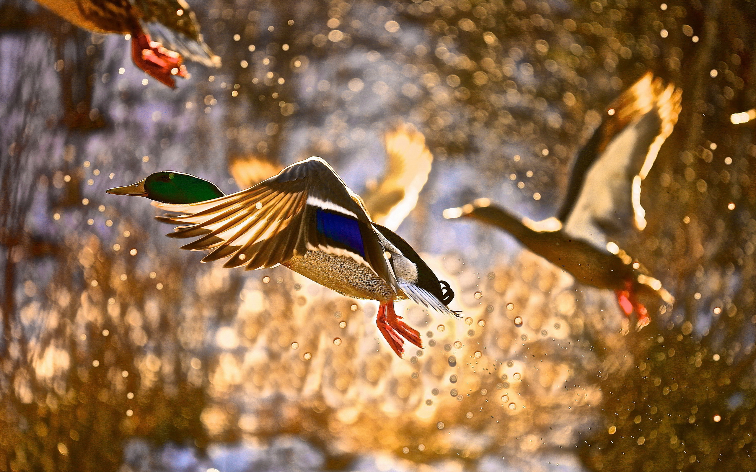 duck images flying