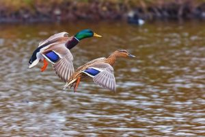 duck images nature