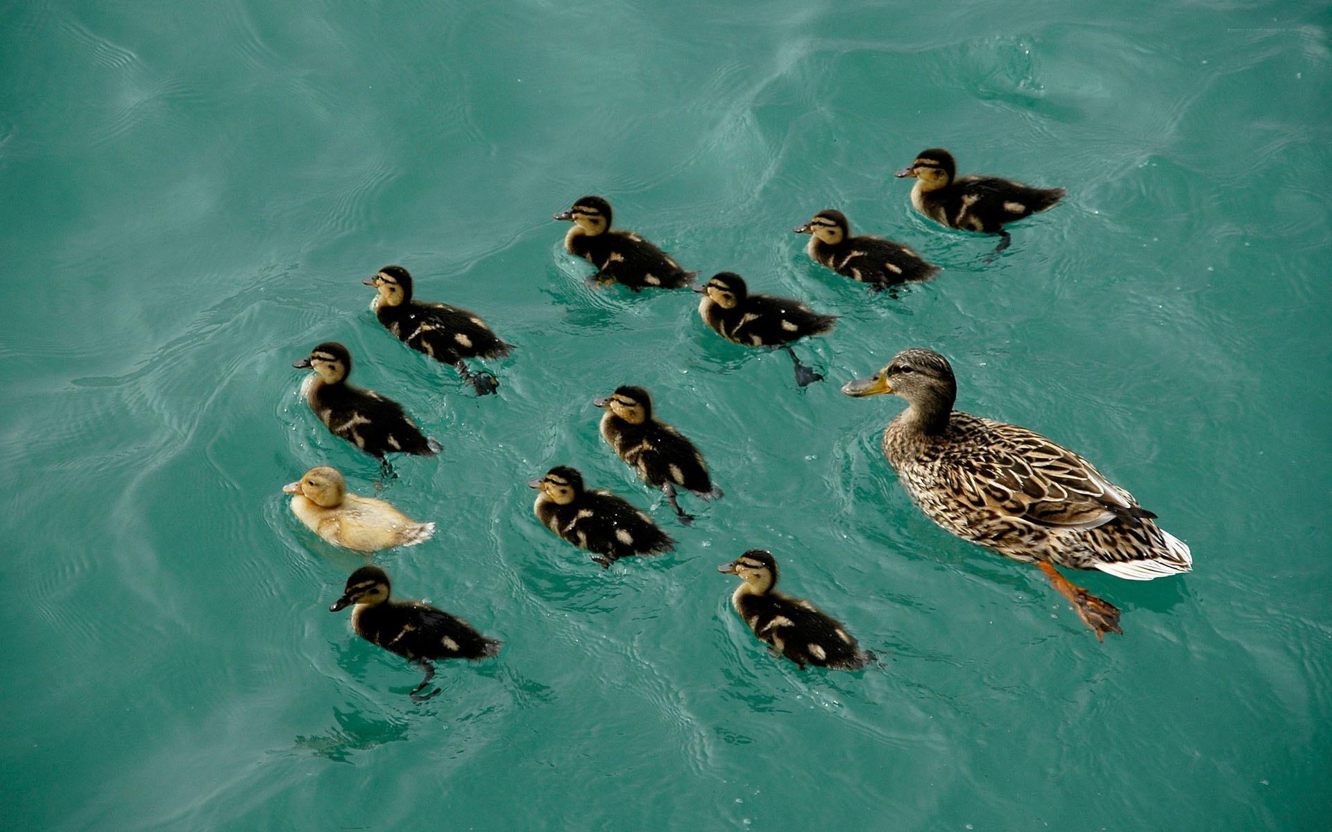 duck photos