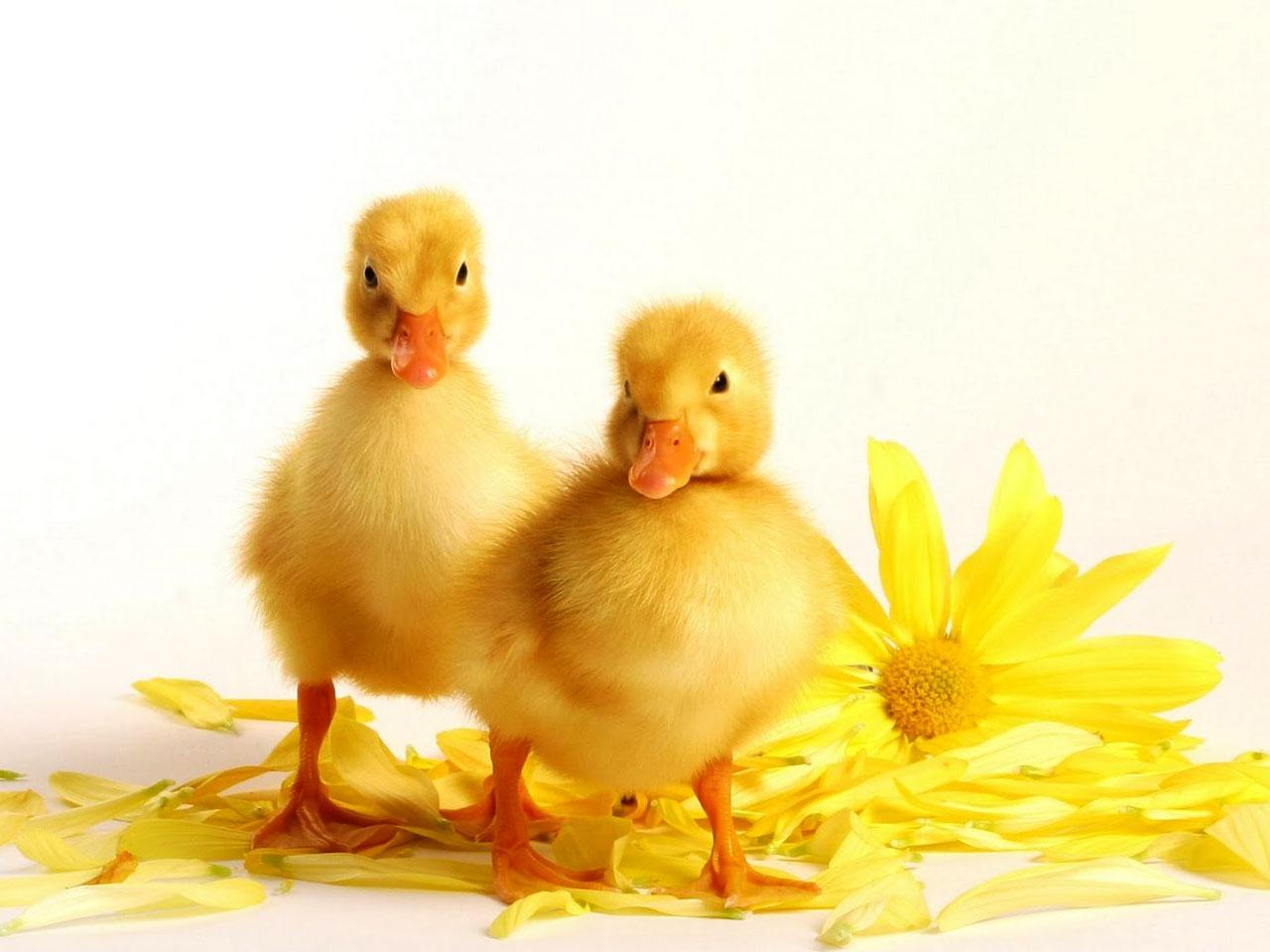 duck wallpaper free