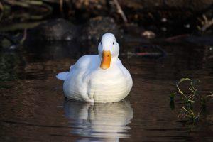 duck wallpaper white