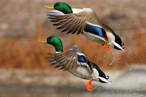 duck wallpapers 1080p