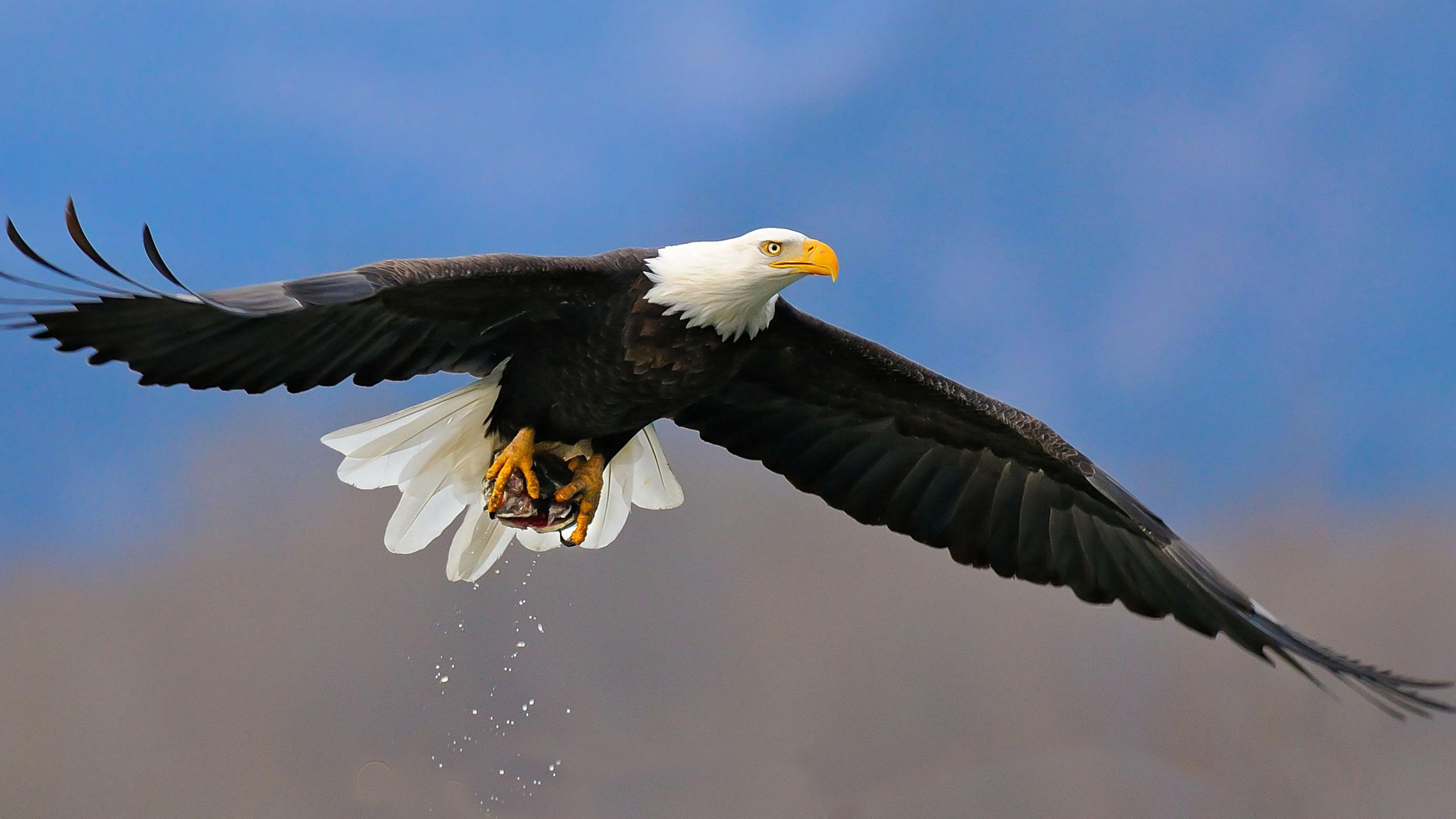 eagle backgrounds