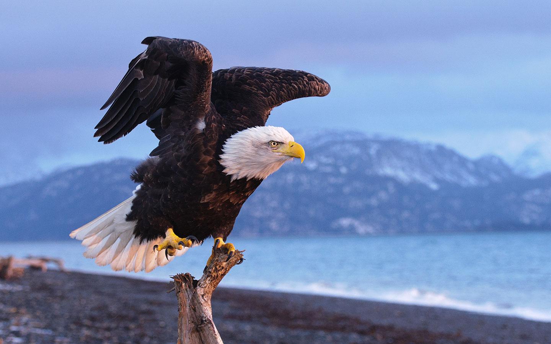 eagle wallpapers for desktop
