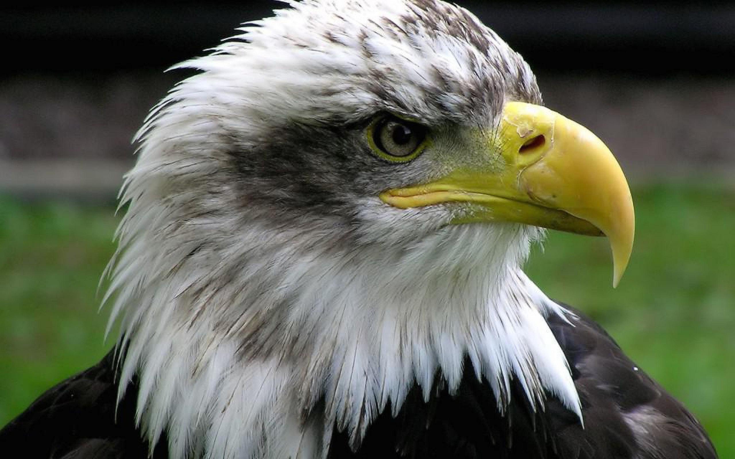 eagle wallpapers - HD Desktop Wallpapers   4k HD