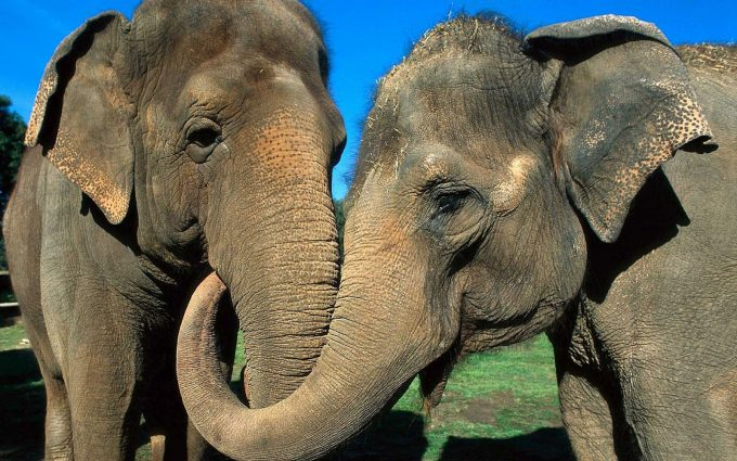 elephant hd image