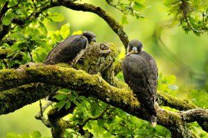 falcon bird nature