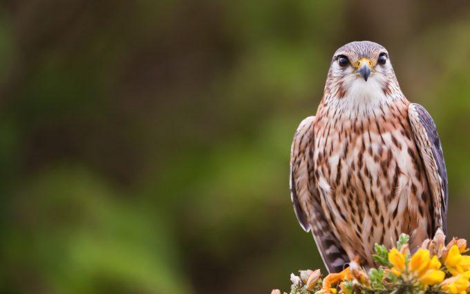 falcon image hd