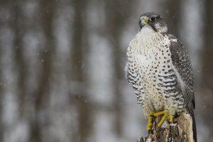 falcon photo