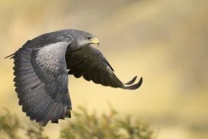 falcon picture