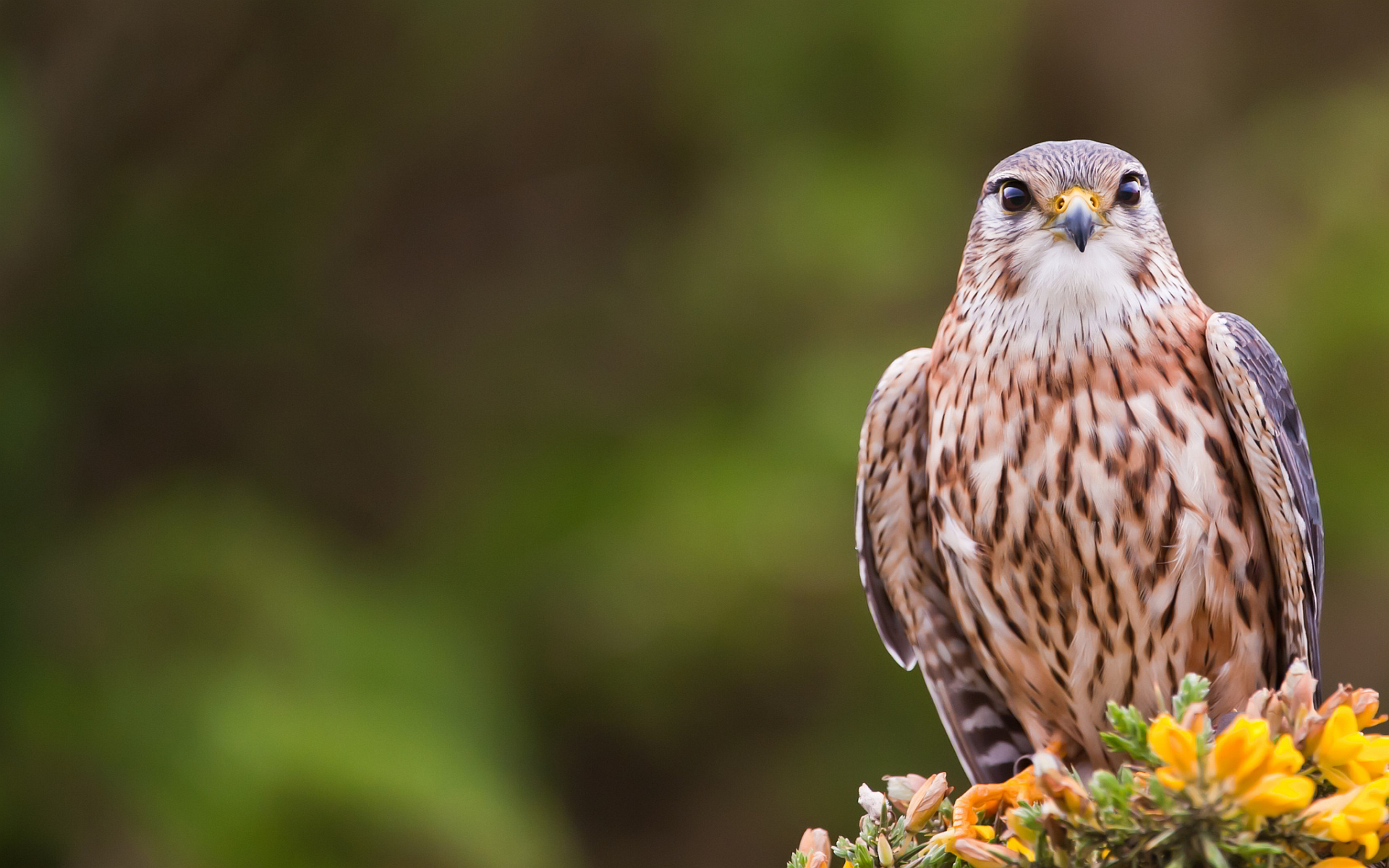 falcon wallpaper free