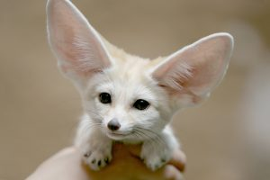 fennec fox small