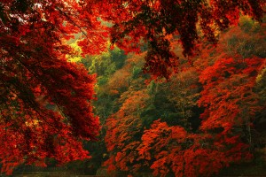 forest red autumn