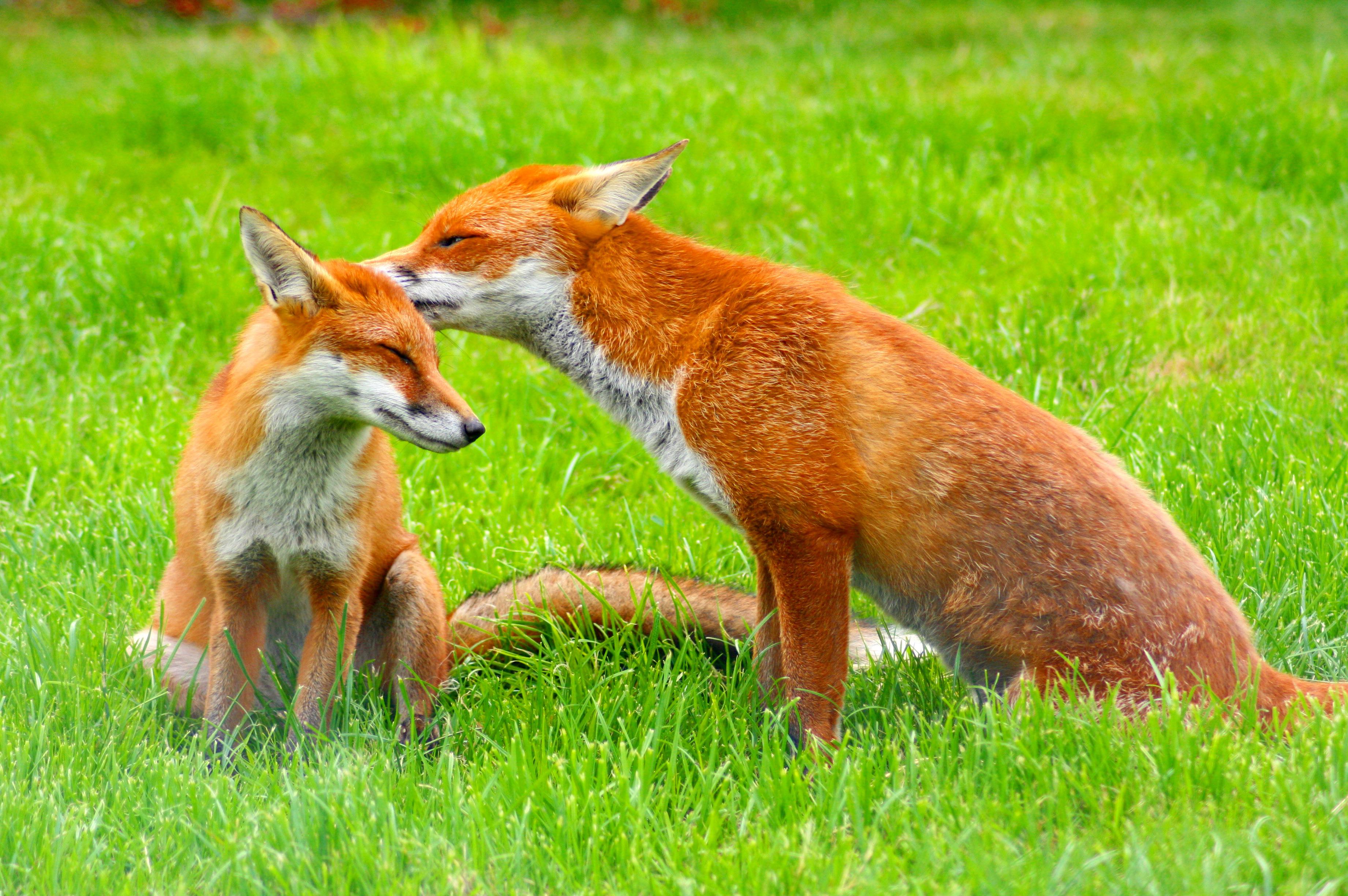 fox desktop backgrounds
