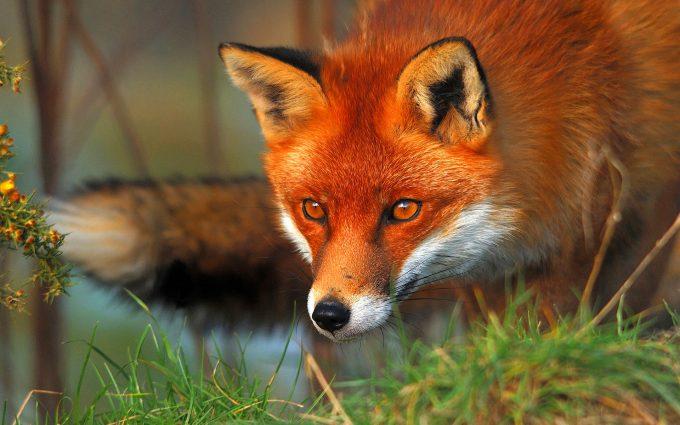 fox eyes wallpapers