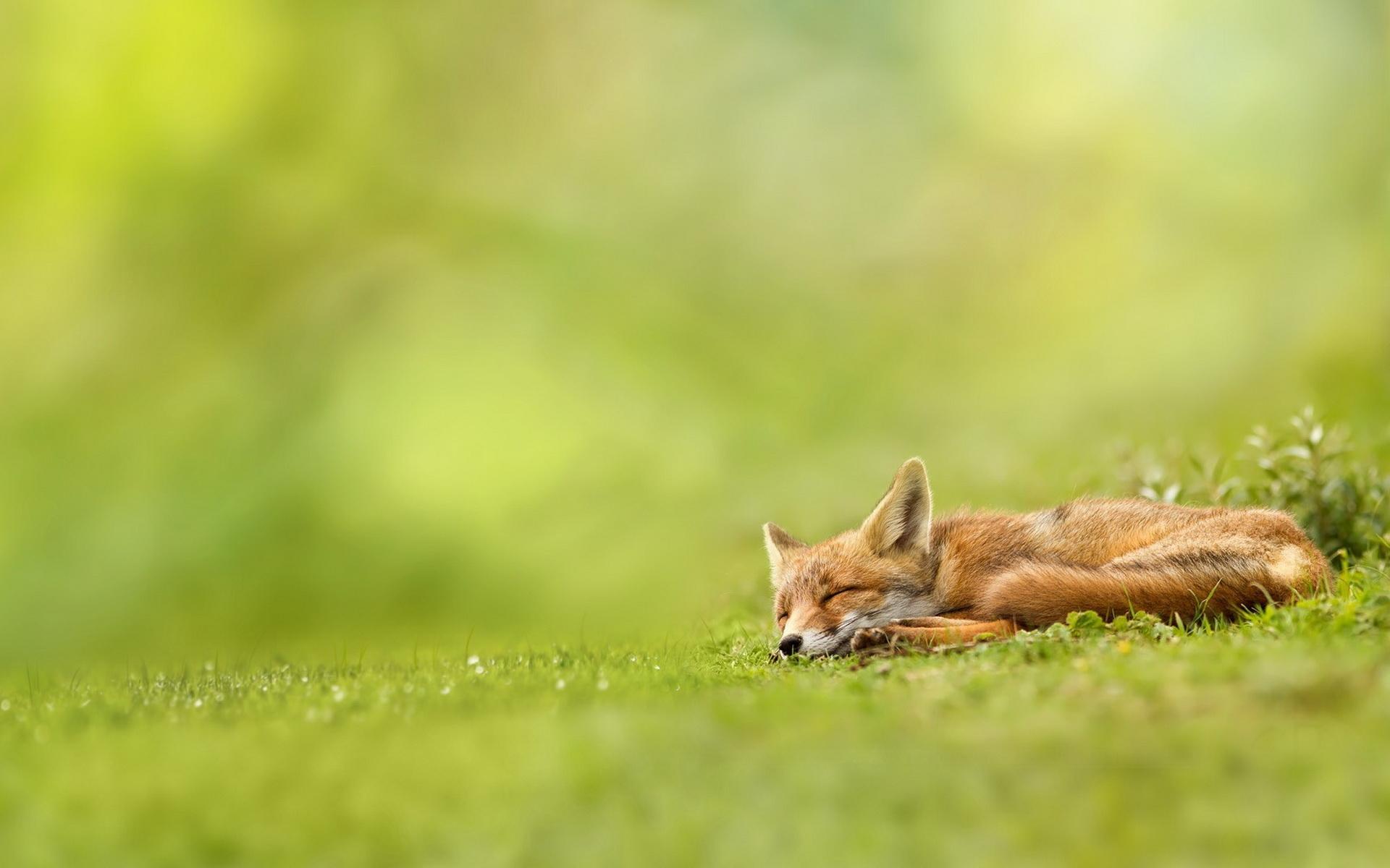 fox sleeping cute