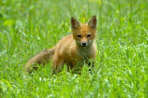 fox wallpaper download