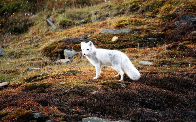 fox wallpapers 1080p