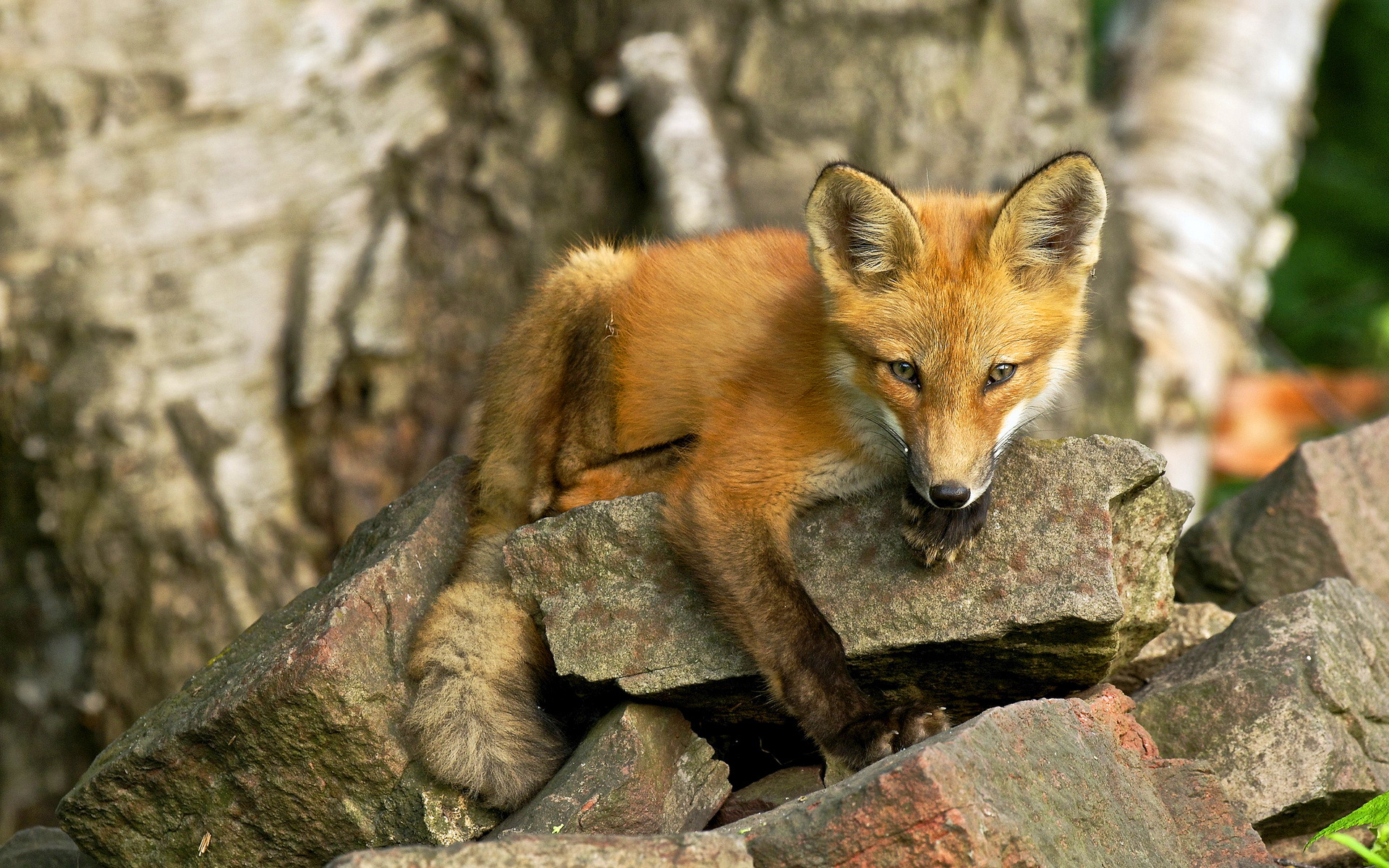 fox wallpapers A1