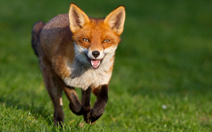 fox wallpapers A5