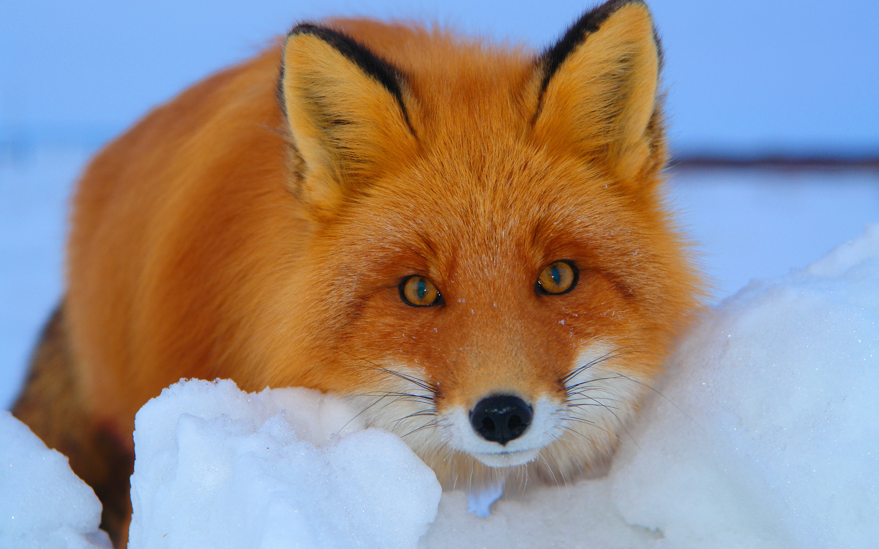 fox wallpapers awesome