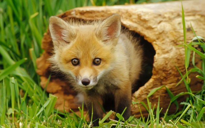 fox wallpapers baby