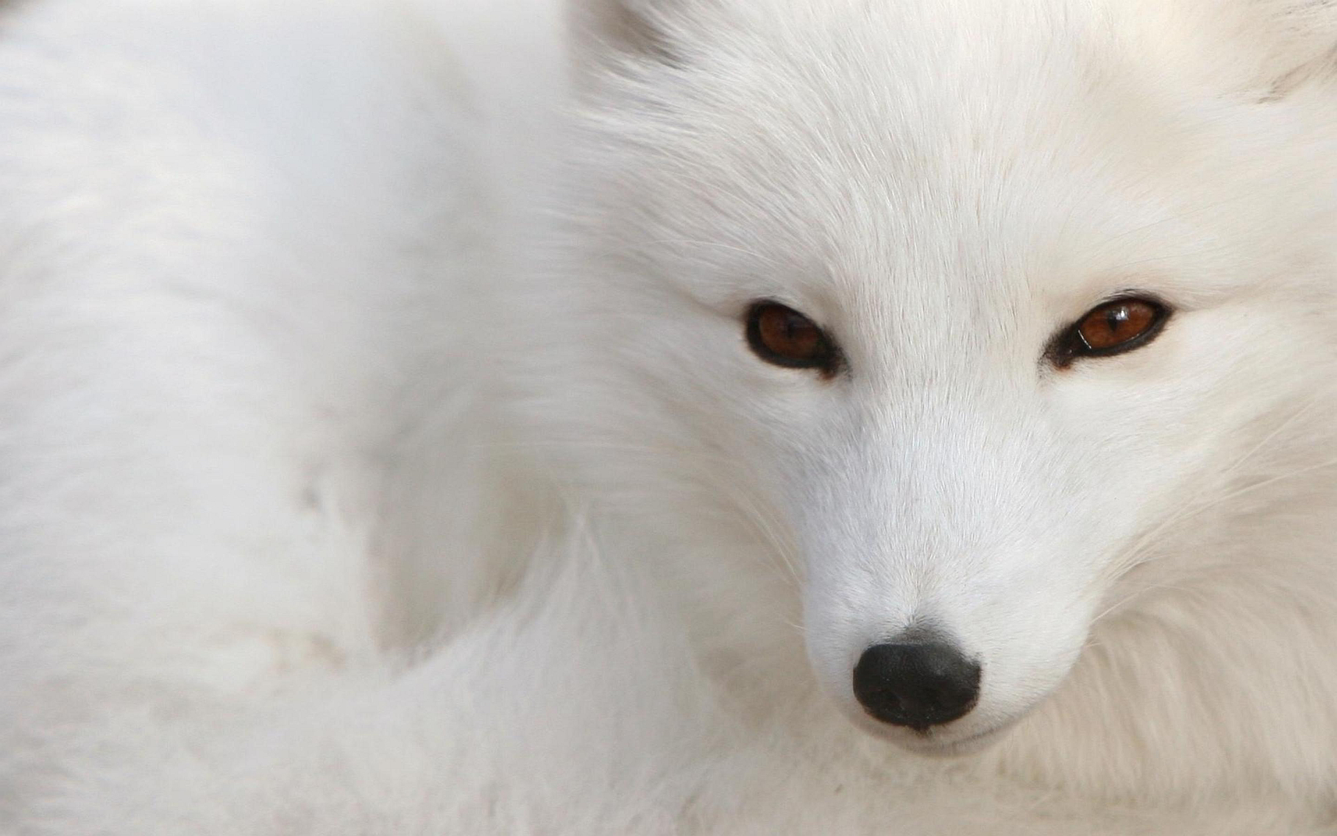 fox wallpapers cool