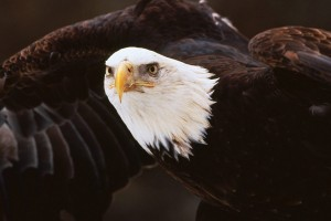 free eagle wallpaper cell phones