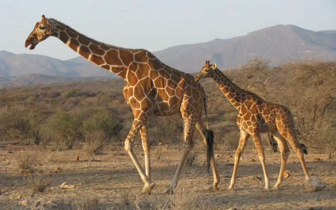 free images of giraffes