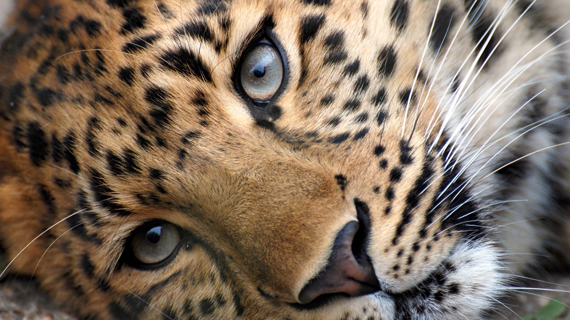 free leopard wallpaper