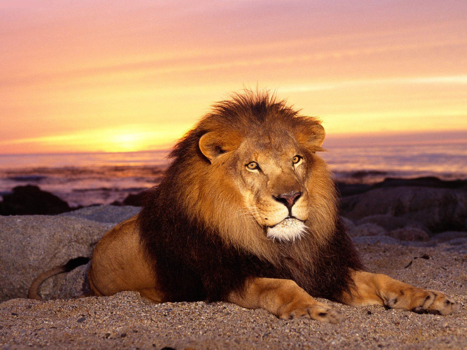 free lion pictures
