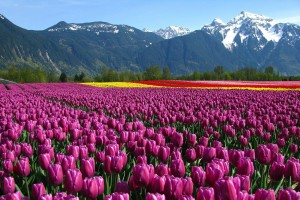free pictures of tulips purple